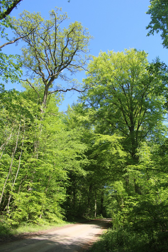Søvej in Gribskov Forest. At right our national tree OAK and at right another national tee