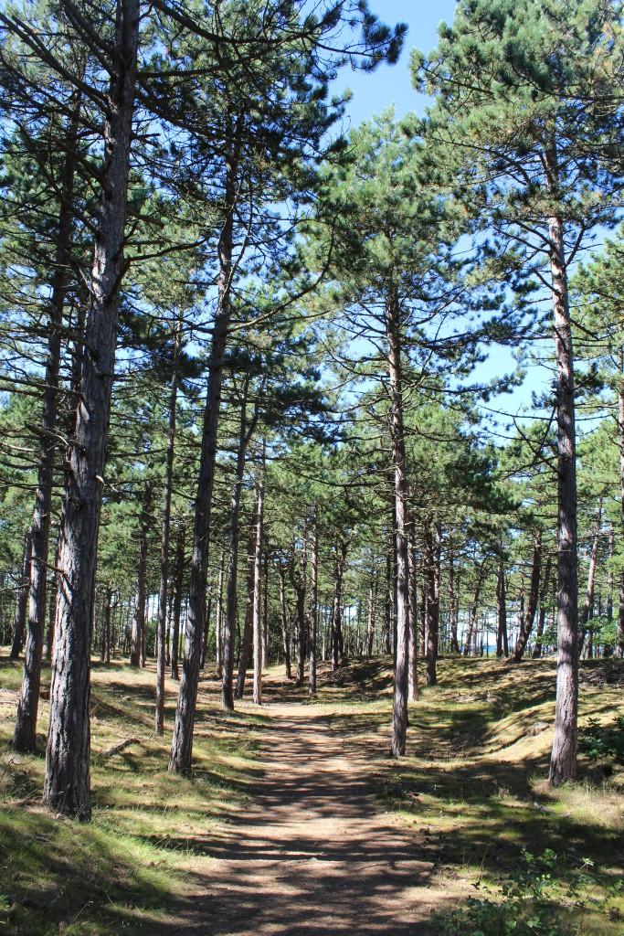 Rørvig Plantation with pine forest. View in direction north to Kattegat Sea. Photo 17. august 2016 by Erik K Abrahamsen.