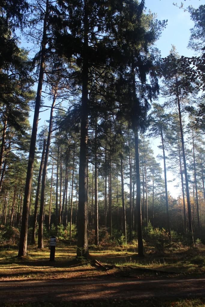Lejevej i Tisvilde Hegn. Udsigt mod skoven langs vejen med planche.