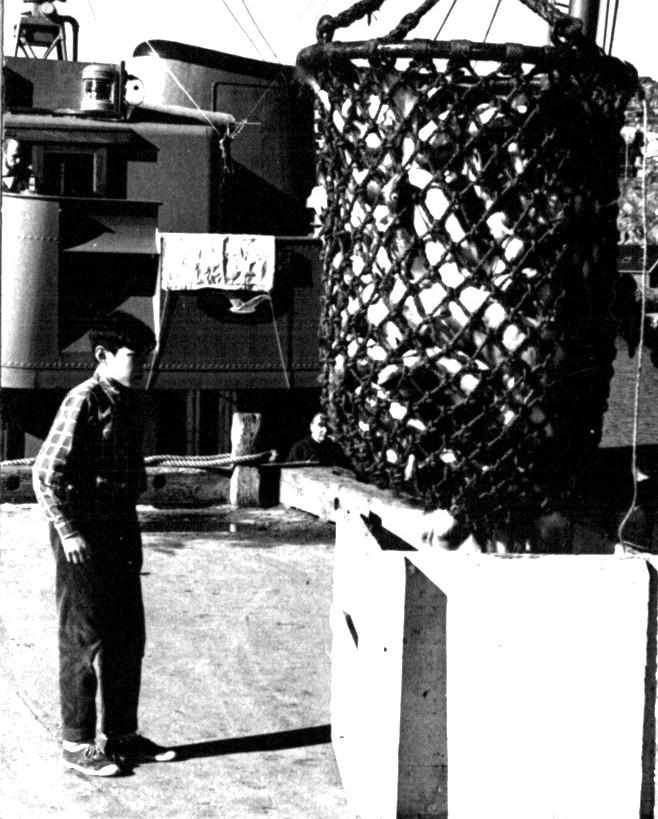 Torske fangt ilans´dsættes fra fiskekutter. Foto 1961