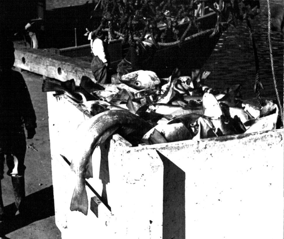 Masser af tork ilandsættres på havnen i Arsuk, Foto 1961.