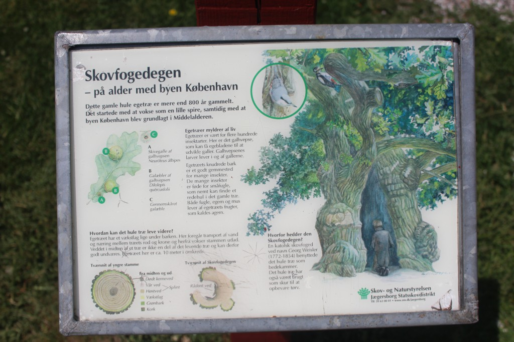 Plate telling the story of the 800 years old oak at Bellevue Beach complex. Photo 4. june 2016 by erik K Abrahamsen.