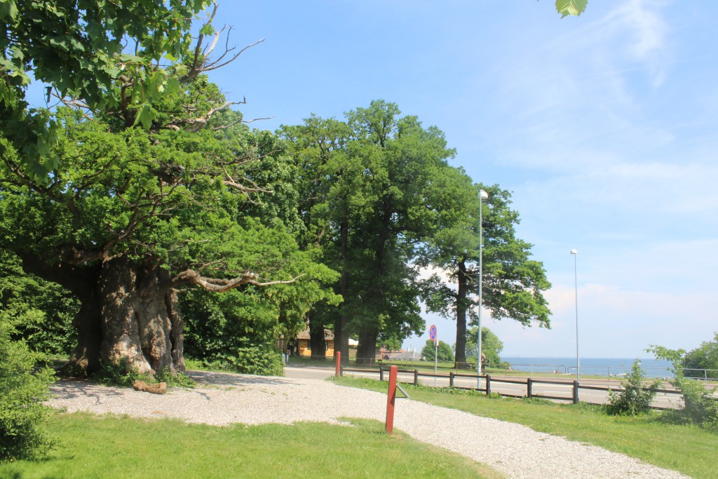 "800 years old tree only 50 meter from Bellevue beach on Strandvejen and entrance of deep ark ""Dyrehaven"". Photo in direction east to Bellavue Beach and Oeresund 4. june 2016 by Erik K Abrahanse."