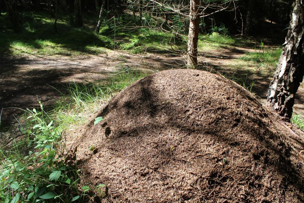 Myretue i Tisvilde Hegn