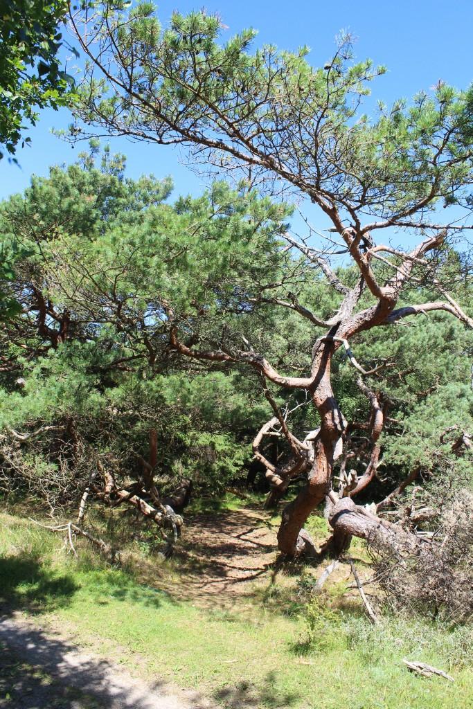 Troldeskoven med små stir og krogede fyrretræer. Foto den 17. juli